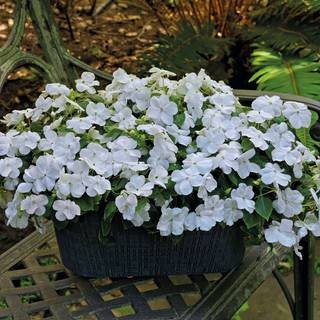 Shady Lady II White Hybrid Impatiens Seeds
