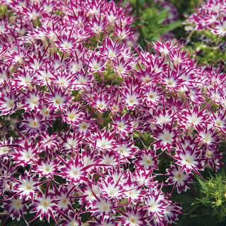 Popstars Purple Eye Phlox Seeds