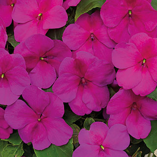 Shady Lady II Violet Hybrid Impatiens Seeds