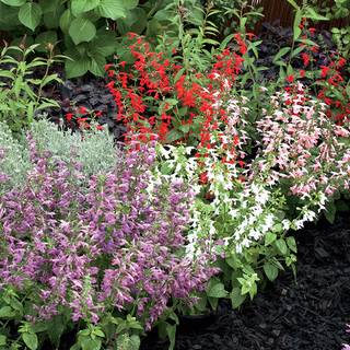 Summer Jewel Mix Salvia Seeds