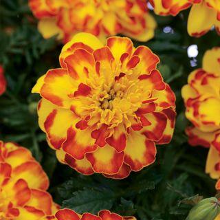 Marigold Flamenco