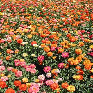 Giant Cactus Mix Zinnia Seed Tape