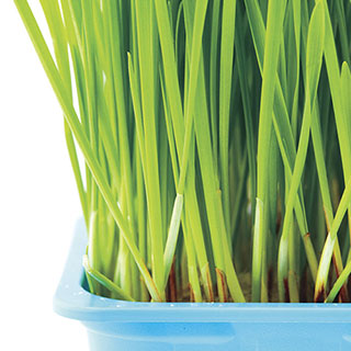 Cat Grass Seed Tape