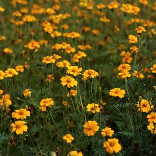 Golden Guardian Marigold Seed Tape