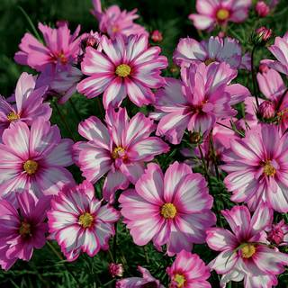 Capriola Cosmos Seeds