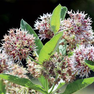Showy Milkweed Seeds