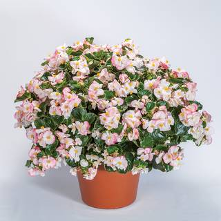 Begonia Tophat™ Rose Bicolor Image