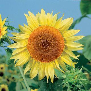 Sunflower Russian Mammoth
