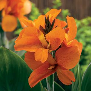 Canna South Pacific Orange