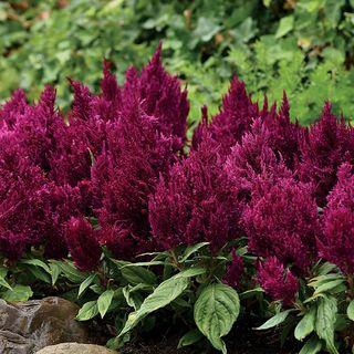 Celosia First Flame Purple