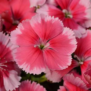 Dianthus Corona Strawberry