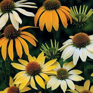 Mellow Yellows Coneflower Seeds