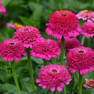 Zinderella Purple Zinnia Seeds