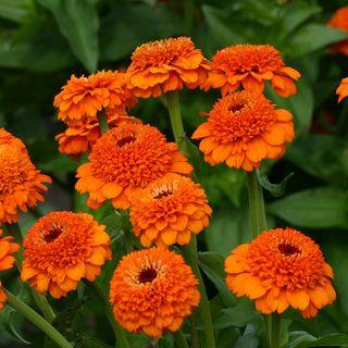 Zinderella Orange Zinnia Seeds