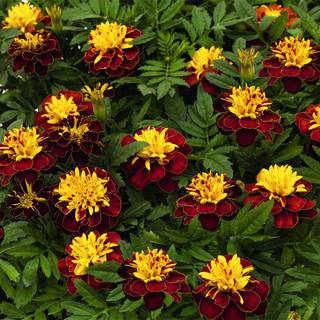 Super Hero™ Spry Marigold Seeds