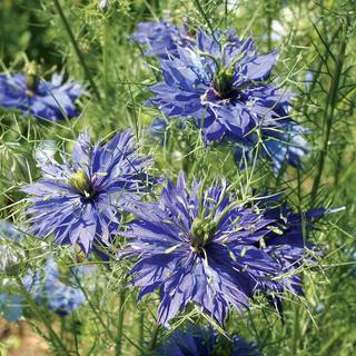 Love in a Mist Miss Jeckyll