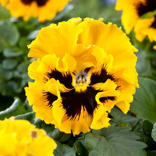 Pansy Flirty Skirts Yellow