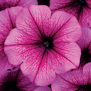Easy Wave® Rose Fusion Petunia Seeds