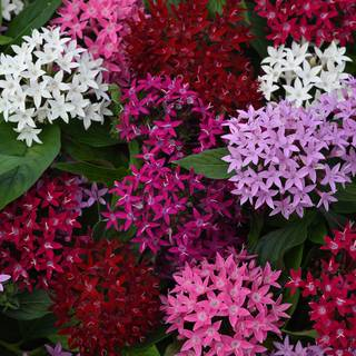 Pentas Lucky Star Mixture