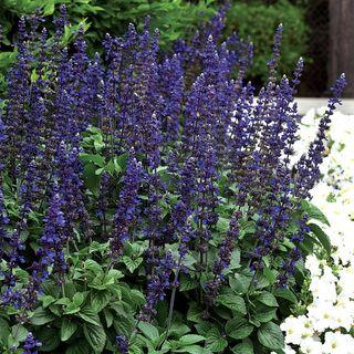 Big Blue Salvia Seeds Image