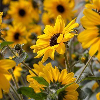 Sunflower Sunfinity