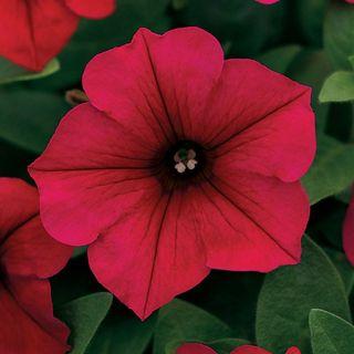Wave® Carmine Velour Petunia Seeds Image