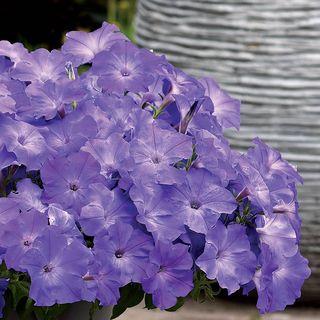 Easy Wave® Lavender Sky Blue Petunia Seeds Image