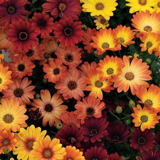 Akila® Sunset Shades Osteospermum Seeds
