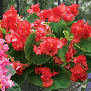 Fiona™ Red Begonia Seeds Image