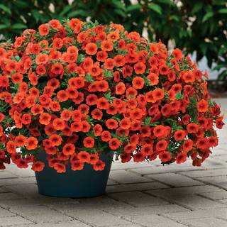 Kabloom® Orange Calibrachoa Seeds