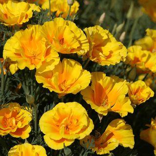 Yukon Gold Poppy Seeds