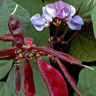 Hyacinth Bean Seeds