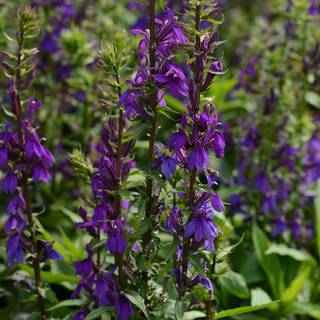 Lobelia Starship Blue