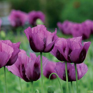 Hungarian Blue Poppy Seeds