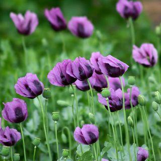 'Hungarian Blue' Poppy Seeds Image