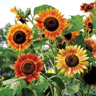 Evening Sun Organic Sunflower Seeds
