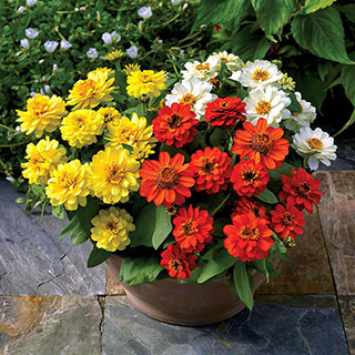 Profusion Double Sunrise Mix Zinnia Seeds