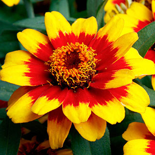 Profusion Red Yellow Bicolor Zinnia Seeds