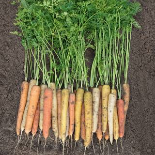 Rainbow Hybrid Carrot Seeds