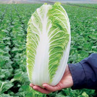 Emiko Hybrid Chinese Cabbage Seeds