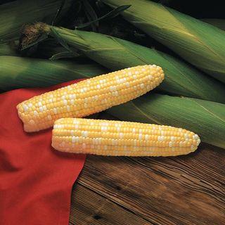 Primus Triplesweet™ Hybrid Corn Seeds