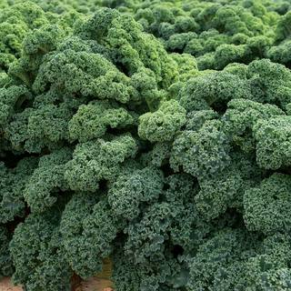 Darkibor Kale Seeds