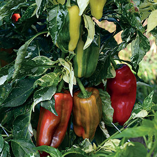Candy Cane Red Pepper Seeds Image
