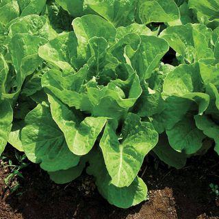 Lettuce Super Jericho