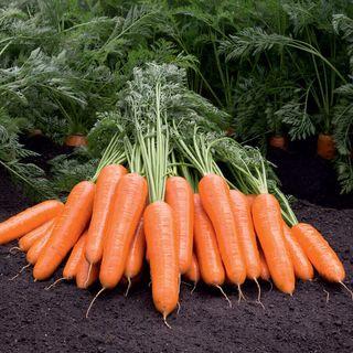 Berlin F1 Berlicum Carrot Seeds