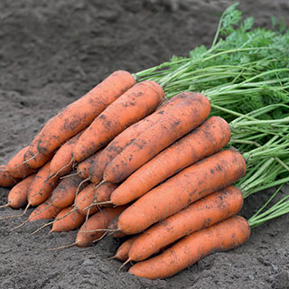 Berlin F1 Berlicum Carrot Seeds Image