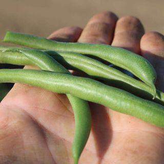Park's Whopper Bush Bean Seeds Image