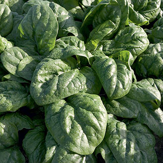 Space F1 Organic Spinach