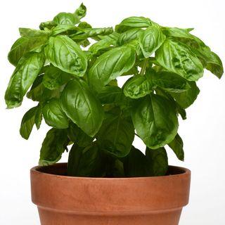 Dolce Fresca Basil Seeds Image