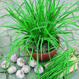 Geisha Garlic Chives Seeds